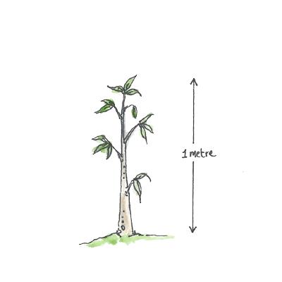 1 metre straight tree