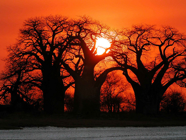 Beautiful Baobabs in Africa
