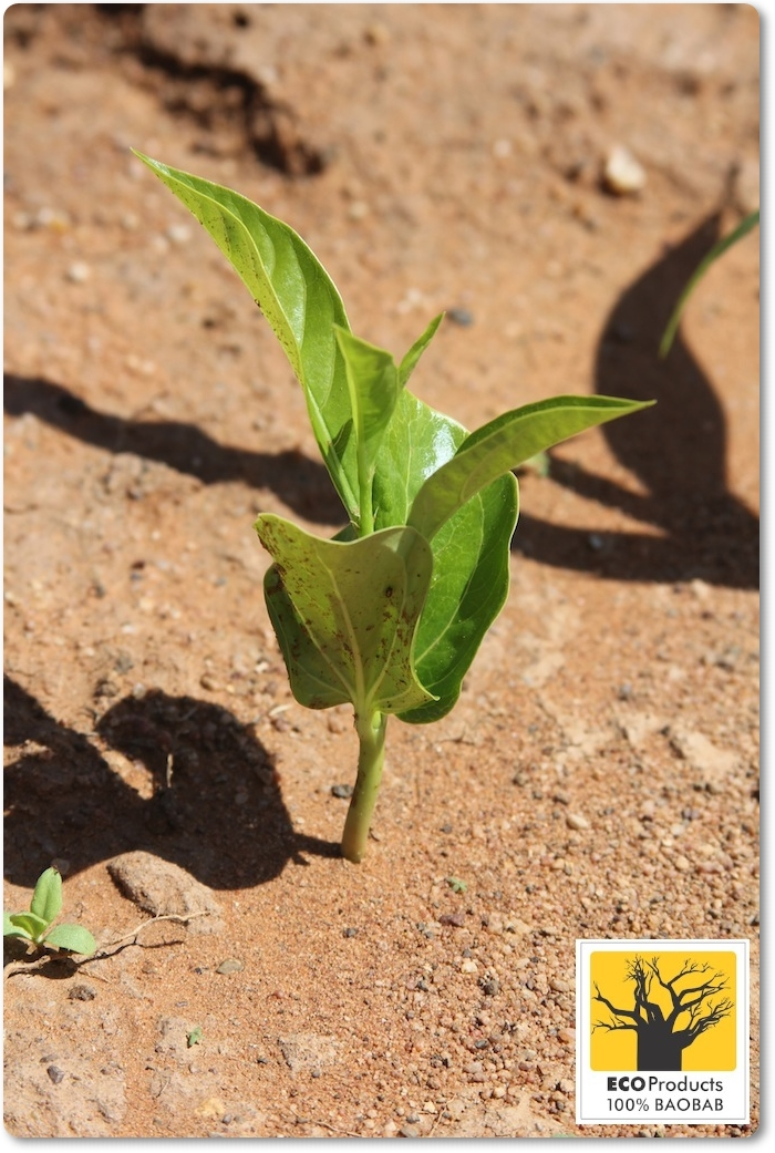 2014 Mar: Baobab seedling in the wild – will it survive?