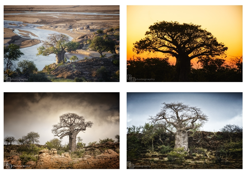Bernadette McCabe: Beauty of the baobab