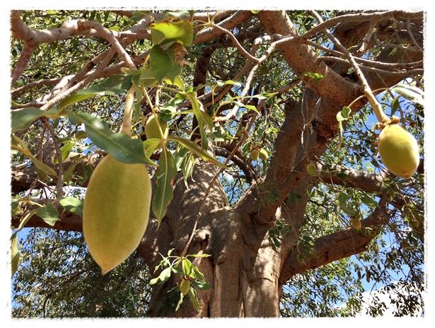 Baobab Fruit Monitoring