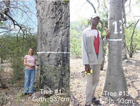 How fat are baobab trees?