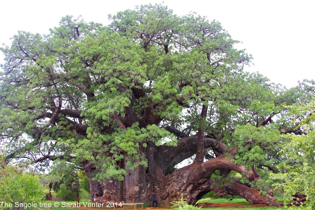 The Sagole Baobab: still a mighty champion