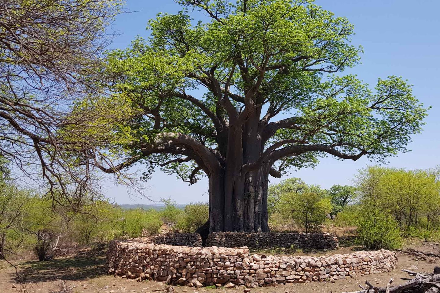 Baobabs Tell of Ancient African Past