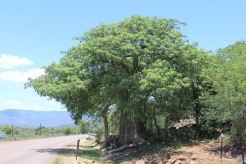New Baobab Species – Fact or Theory?