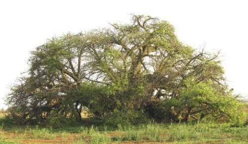 HOW ANCIENT ARE BAOBAB TREES REALLY?