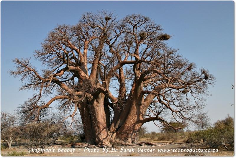 Famous Baobabs: Chapman's Baobab