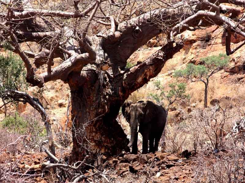 Rescuing Mapungubwe 's Baobabs from elephant damage