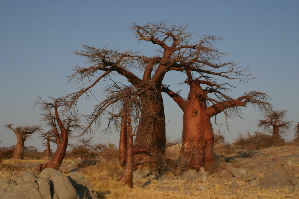 The real truth about water in baobab trees