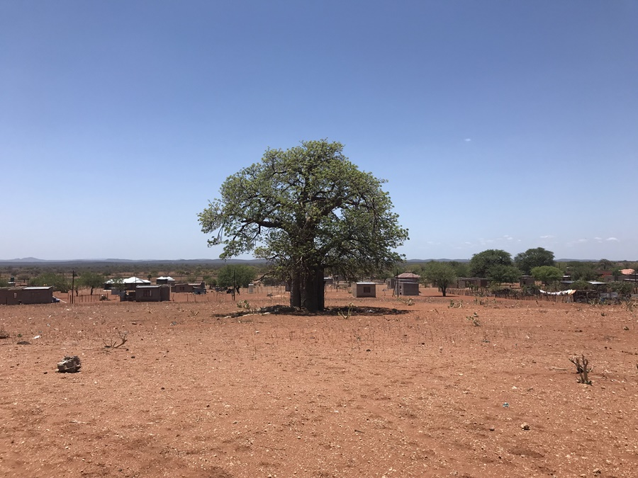 Baobab Tree Planting has a Mind of its Own