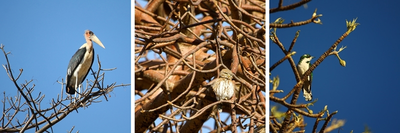 maribou-stork-pearl-spotted owlet-and-klaass-cuckoo-with-baobab-buds