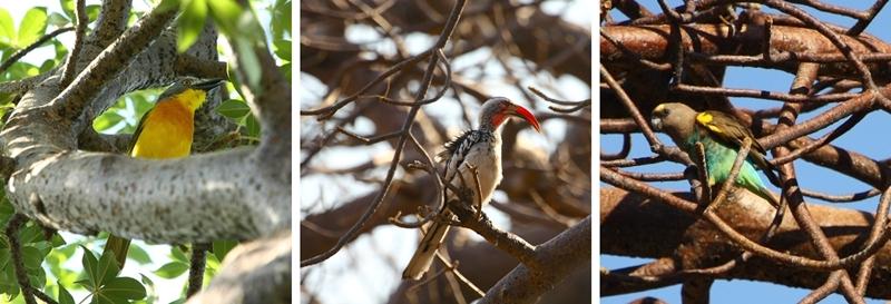 bush-shrike-redbilled-hornbill-myers-parrot