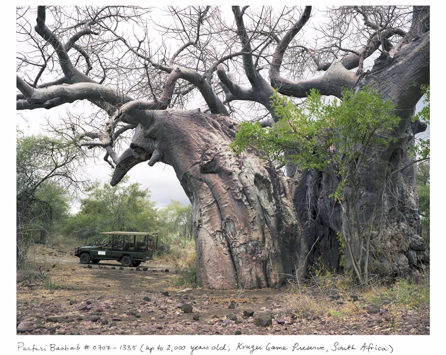 Beautiful Baobabs: one of the oldest living things in the world