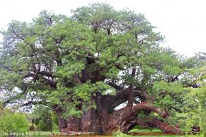 Sagole Tree Dec 2014 with copyright