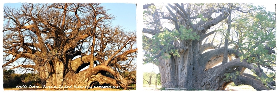 Famous Baobabs: A Champion of Trees  – The Sagole Baobab