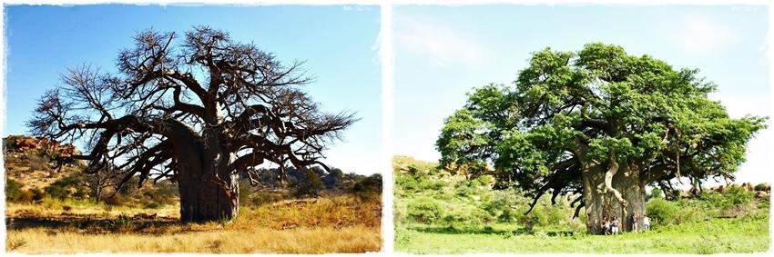The seasons of baobab trees