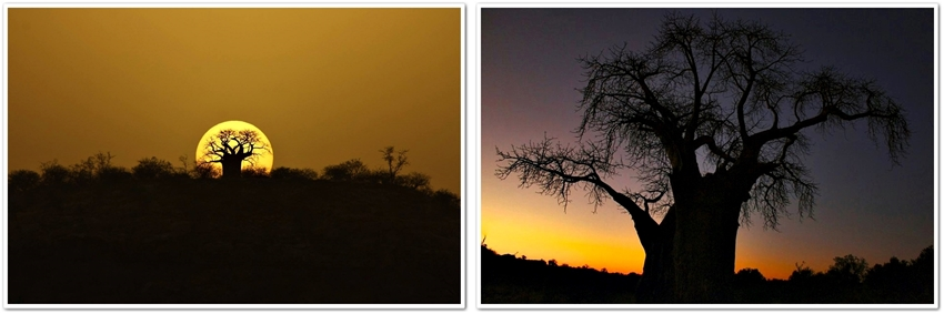 Sunset Baobab trees