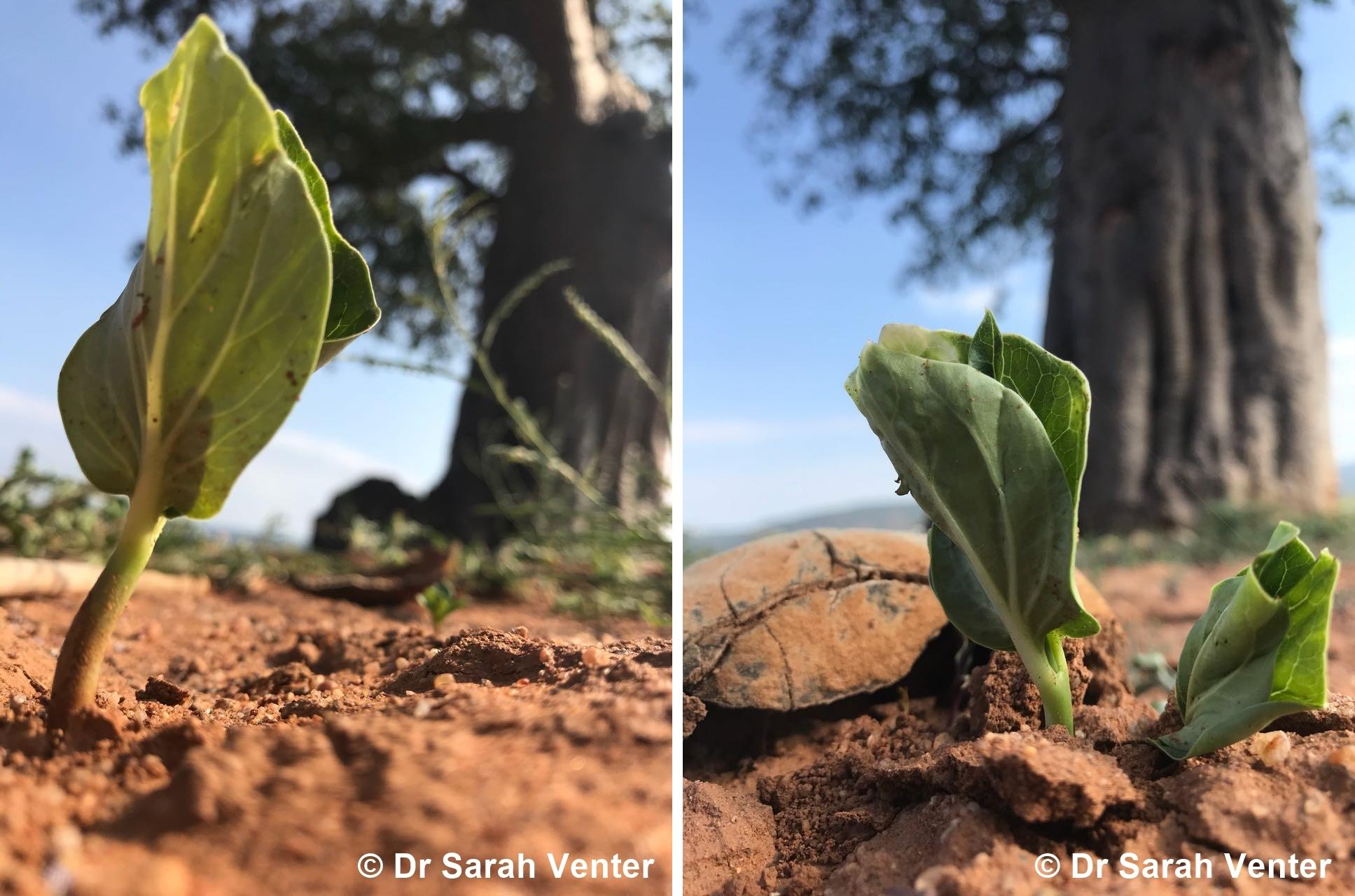 Brave Baobab Seedlings