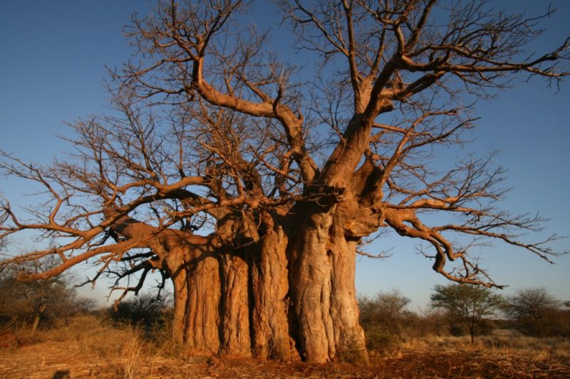 A Very Long Time Ago Say Some African Legends The First Baobab Sprouted Beside Small Lake As It Grew Taller And Looked About Spied Other Trees