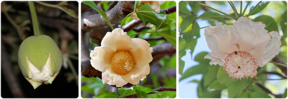 The Mysterious Life of Baobab Flowers